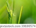 Macro shot of a a green grasshopper 39690574
