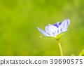 Springtime. Macro shot of a blue speedwell birdeye 39690575