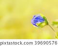 Springtime. Macro shot of a blue speedwell birdeye 39690576