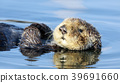 Curious Sea Otter floating in Santa Cruz 39691660