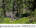 Old dry broken trees lay in coniferous forest 39693152