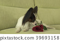 Dog Papillon with red rose in love on valentines 39693158