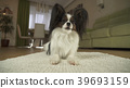 Dog Papillon lies on the rug in living room 39693159