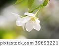 오시마 벚꽃, 오시마벚꽃, 오시마자쿠라 39693221