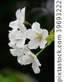 오시마 벚꽃, 오시마벚꽃, 오시마자쿠라 39693222