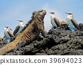 Marine iguana with blue footed boobies, booby 39694023