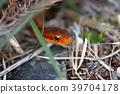 史氏斜鱗蛇 花尾斜鱗蛇 是蛇亞目游蛇科斜鱗蛇屬下的一種無毒蛇類 39704178