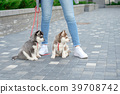 Young attractive women walking with two husky 39708742