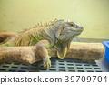 green, iguana, reptile 39709704