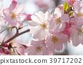 늦게 피는 벚꽃 39717202