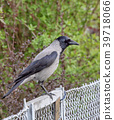 Black crow sitting on a metal fence on a 39718066