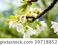Blossom of a cherry tree on a warm morning 39718852