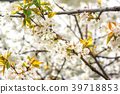 Blossom of a cherry tree on a warm morning 39718853