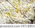 Blossom of a cherry tree on a warm morning 39718854