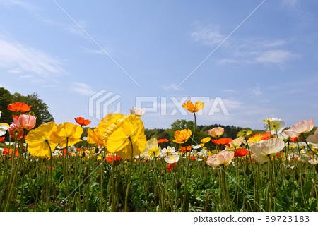 在國有武藏丘陵森林公園的罌粟花 39723183
