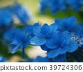 수국, 꽃, 식물 39724306
