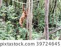 猩猩 野生 熱帶雨林 39724645