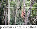 猩猩 野生 熱帶雨林 39724646