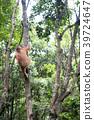 猩猩 野生 熱帶雨林 39724647