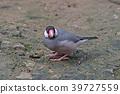 Java Sparrow 39727559