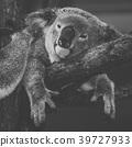 Cute Australian Koala resting during the day. 39727933