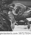 Cute Australian Koala resting during the day. 39727934