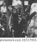 Cute Australian Koala resting during the day. 39727935