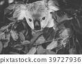 Cute Australian Koala resting during the day. 39727936