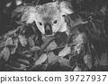 Cute Australian Koala resting during the day. 39727937