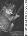 Cute Australian Koala resting during the day. 39727938