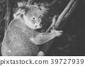Cute Australian Koala resting during the day. 39727939