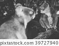 Cute Australian Koala resting during the day. 39727940
