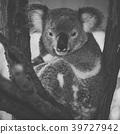 Cute Australian Koala resting during the day. 39727942