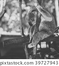 Cute Australian Koala resting during the day. 39727943