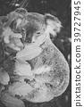 Cute Australian Koala resting during the day. 39727945