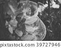 Cute Australian Koala resting during the day. 39727946