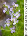 꽃, 플라워, 순무 39728608