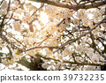 Blossom of a cherry tree on a warm morning 39732235