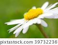 Macro shot of a daisy flower 39732236