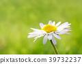 Macro shot of a daisy flower 39732237