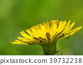Macro shot of a dandelion with green background. 39732238