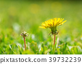 Macro shot of a dandelion with green background. 39732239