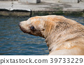 諸星水族館 庫頁冷杉 北海獅 39733229