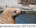 諸星水族館 庫頁冷杉 北海獅 39733230