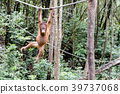 猩猩 類人猿 猭 39737068