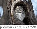 Ezo貓頭鷹在Makomanai公園 39737594