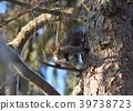 松鼠 日本北海道松鼠 松鼠常見的東 39738723