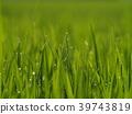 핀아웃, 녹색, 잎 39743819