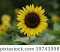 노랑, 꽃밭, 장엄한 39743998