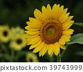 노랑, 꽃밭, 장엄한 39743999